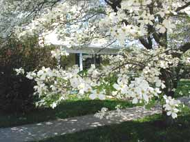 Photo of a beautiful Dogwood tree in full bloom.  Charleston, Mississippi County, Missouri.